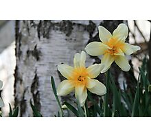 Old Fashion Daffodil at base of Birch Tree Photographic Print