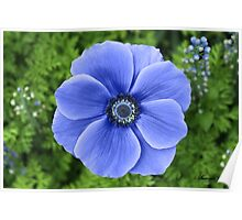 Indigo Anemone ~ A Cool Beauty Poster