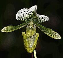 Lady's Slipper Orchid by John Keates