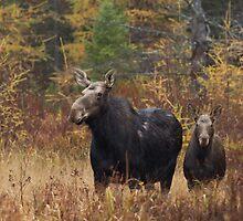 Moose - Algonquin Park, Canada by Jim Cumming