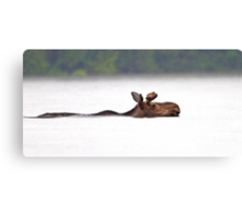 The Following - Moose, Algonquin Park, Canada Canvas Print