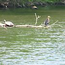Turtle and cormorant share a branch by nealbarnett