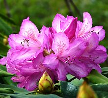 Rhododendron  by Trish Meyer