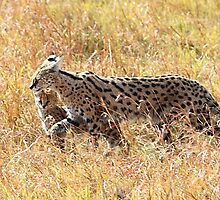 Serval Cat & Kitten, Serengeti, Tanzania  by Carole-Anne