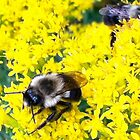 Busy Bees on Goldenrod by FedericoArts