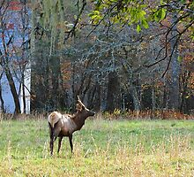 Young Bull Elk On His Way To Church by Bill Shuman