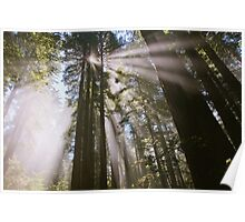 Sunrays through the forest in lady bird Johnson grove  Poster