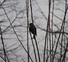 Solitary Black Bird In A Winter Tree by Sam-C