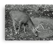 White-Tailed Deer - Buck - Odocoileus virginianus Canvas Print