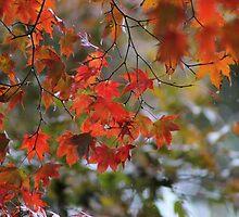 Rainy Autumn Maple by Gilda Axelrod