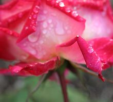 Pink rose with raindrops - 2011 by Gwenn Seemel