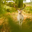 Fallow Stag by Mike Garner