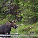 Lunch in Algonquin Park - Canadian Moose by Jim Cumming
