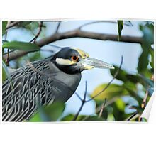 A Framed Yellow-Crowned Night-Heron ( Nyctanassa violacea ) Poster
