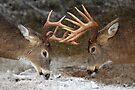 Clash of the Titans - White-tailed deer Bucks by Jim Cumming