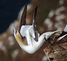 Nortern Gannet taking off by Maria Gaellman