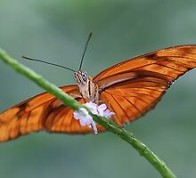 Iulia Butterfly (Flame Butterfly) by Maria Gaellman