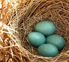 Four American Robin Eggs by JMcCombie