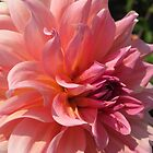 Dahlia named Fire Magic by JMcCombie
