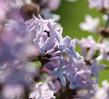 Common Purple Lilac by JMcCombie