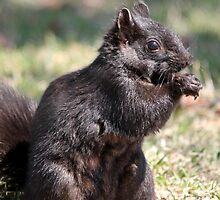 Black Squirrel by JMcCombie
