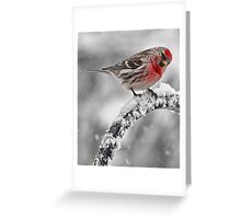Red Poll -- Cold, But Hungry Greeting Card