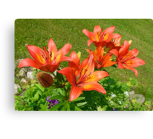 Loads Of Blooms.... Tiger Lilies Canvas Print