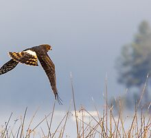Harrier Hunting -- Northern Harrier by Tom Talbott