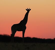 Giraffe Silhouette - Pink African Sunset by LivingWild