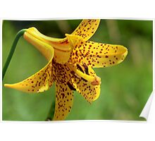 Wild Tiger Lily Poster