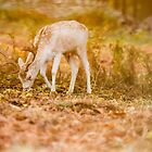 Fallow Stag Eating by Mike Garner