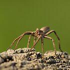 Nursery Web Spider by Paul Spear