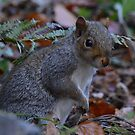 Grey Squirrel by Dorothy Thomson