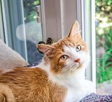"""Zany"" Orange and White Tabby Cat Rescued  by Peggy  Volunteer Photographer FOR RESCUE ANIMALS"