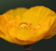 Yellow Poppy by Dipali S