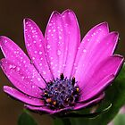 Purple Daisy by Dipali S