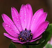 Purple Daisy by Dipali S