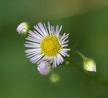 Wild flowers by Dipali S