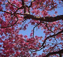 Pink Blossoms, Tabebuia Tree by Derek Michael Brennan