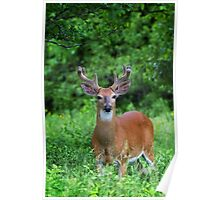 Spring Buck - White-tailed deer Poster