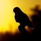 Night Owl - Snowy Owl by Jim Cumming