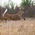 Taking Flight - White-tailed deer Buck by Jim Cumming