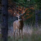 At the end of the day - White-tailed deer Buck by Jim Cumming