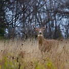New buck in town - White-tailed deer Buck by Jim Cumming