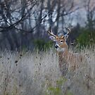 A doe is spotted ahead - White-tailed deer Buck by Jim Cumming