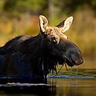 Swimming with Moose - Algonquin Park, Canada by Jim Cumming