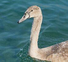 swan at lake by spetenfia