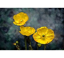 Iceland poppy Photographic Print