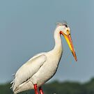 Portrait Of An American White Pelican by Thomas Young