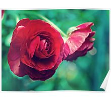 Red, Red Ranunculus Poster